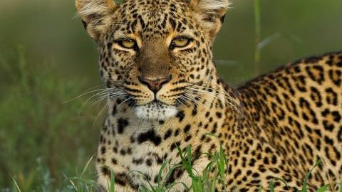 Watch A Male Leopard That Was Spotted At The Yamuna Biodiversity Park