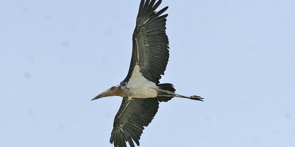 Saving The Greater Adjutant Stork