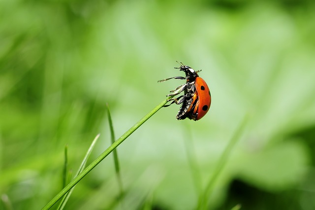 ladybug-796482_640