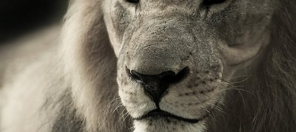5 Facts You Need To Know About Asiatic Lions