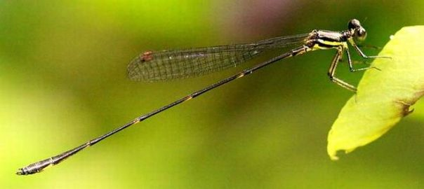 New Damselfly Species Discovered In India