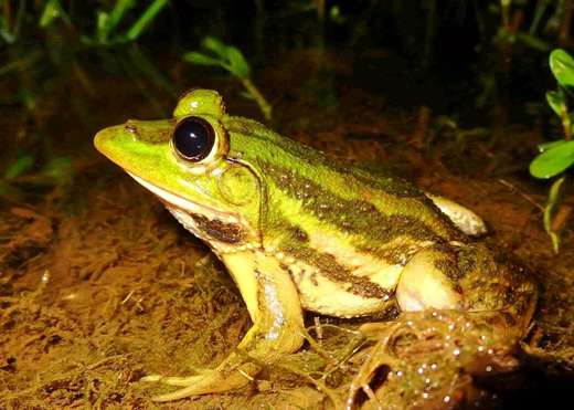 Karaavali skittering frog that sings like a kingfisher. Image via phys.org by C R Naik