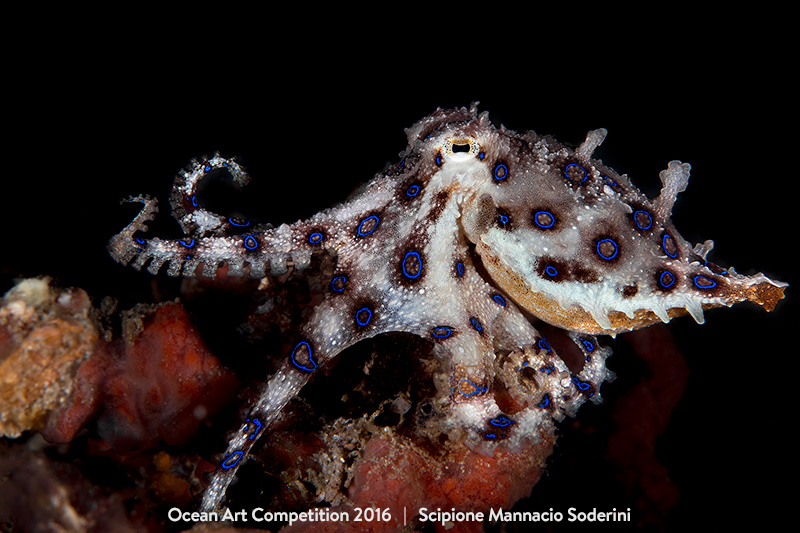 "Scipione Mannacio Soderini ""My First Blue Ring Octopus"""