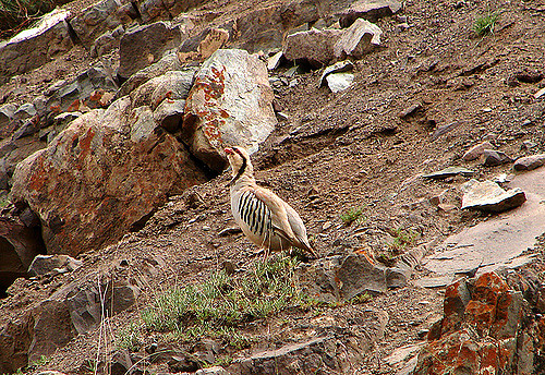 Chukar Patridge at Hemis. Image via Flickr
