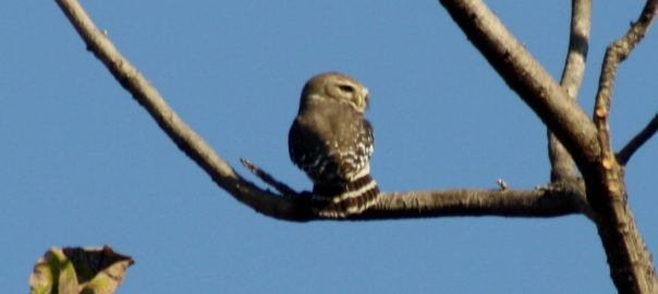 forest_owlet_heteroglaux_blewitti_melghat_tiger_reserve_maharashtra_showing_the_barred_tail