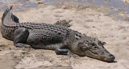 12 White Crocodiles, 1682 Saltwater Crocodiles in Bhitarkanika National Park