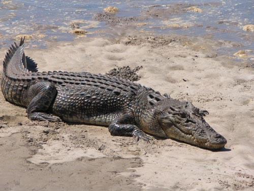 12 White Crocodiles, 1682 Saltwater Crocodiles in Bhitarkanika National Park