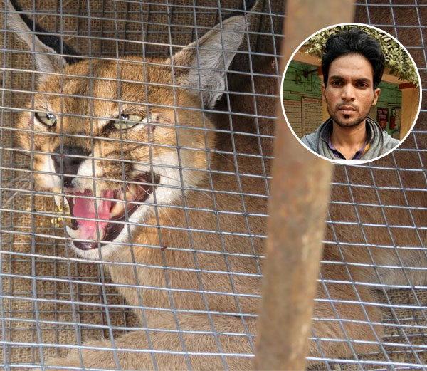 Rescued Caracal cub and the poacher (inset). Image via Dainik Bhaskar
