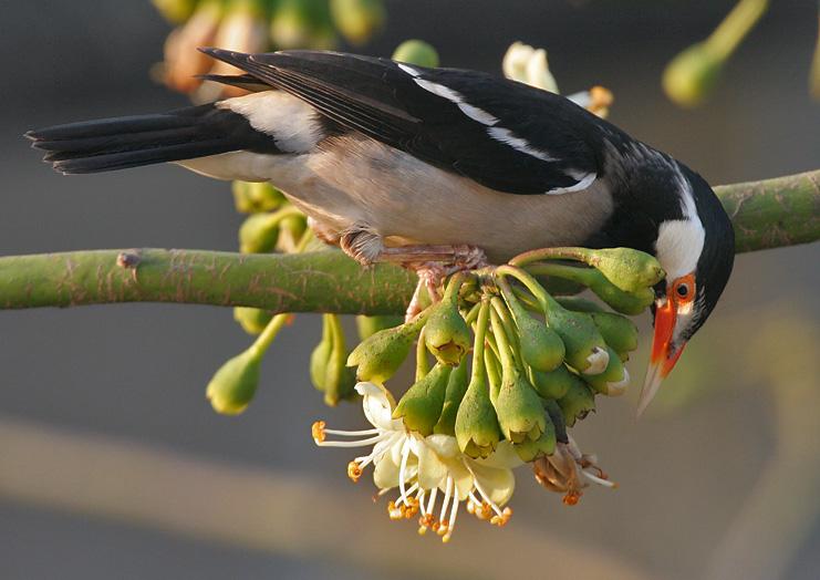 Asian_Pied_Starling_(Sturnus_contra)_feeding_on_Kapok_(Ceiba_pentandra)_in_Kolkata_I_IMG_3091