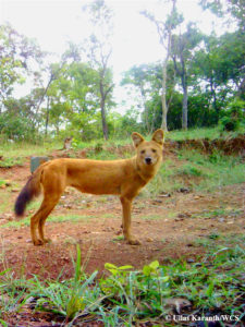 Asiatic-dhole_camera-trap©Ullas-Karanth-WCS-225x300