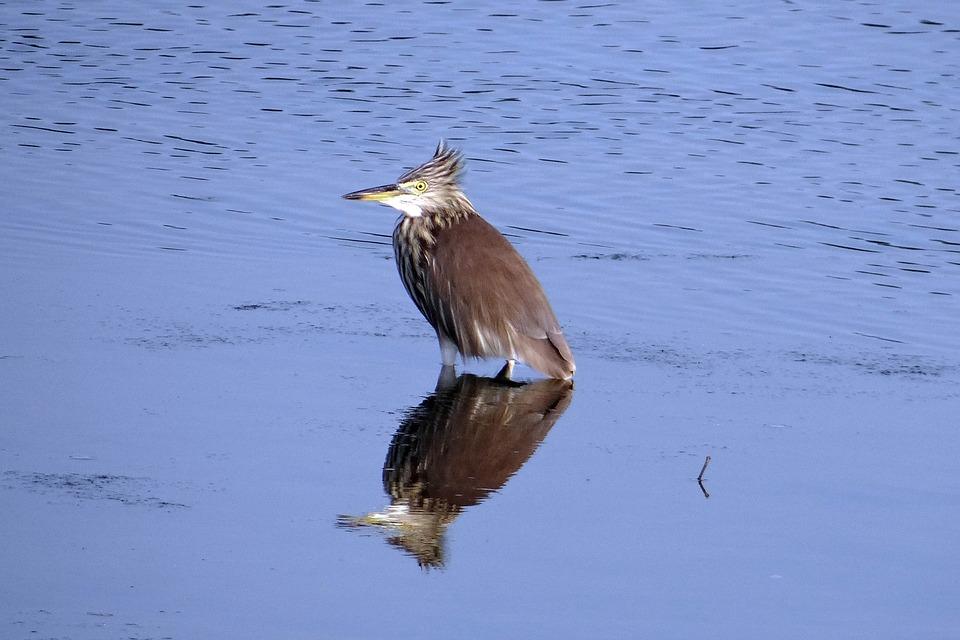 Bird Karwar Creek Reflection India Pond Heron