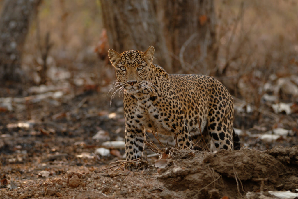 A mother leopard suprised to see us while it tried to hunt a Bonnet Macaque said the researchers. Image via WCS
