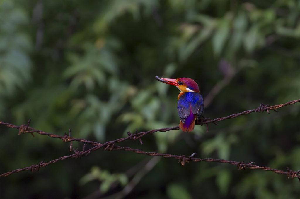 Oriental_Dwarf_Kingfisher_Pune
