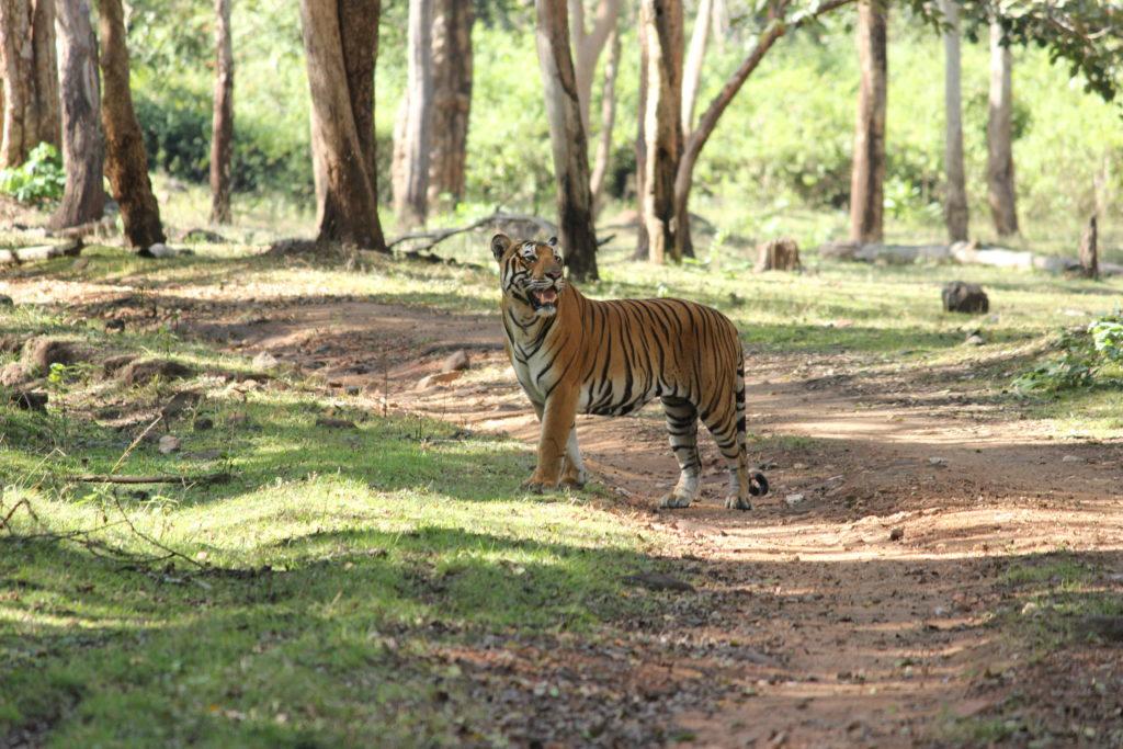 Tiger_©Subbaiah