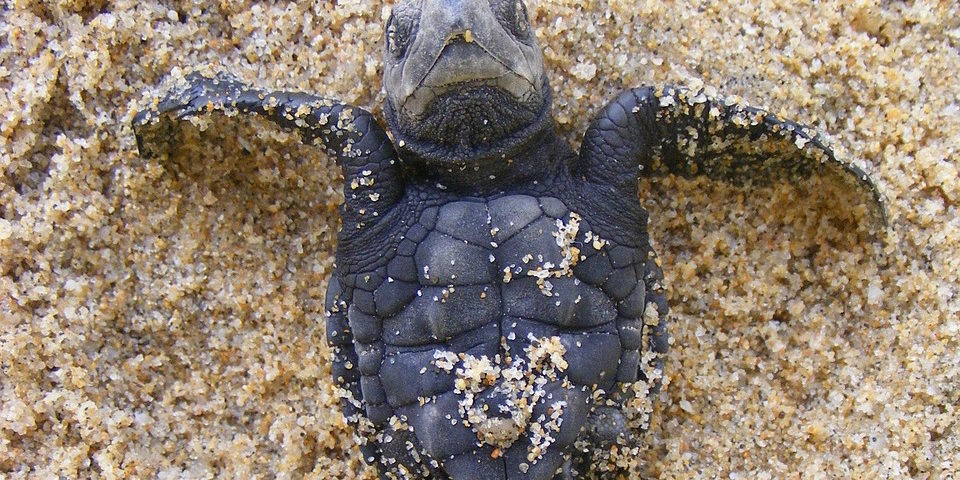 WHY LIFE IS NOT A WALK ON THE BEACH FOR ODISHA'S OLIVE RIDLEY TURTLES