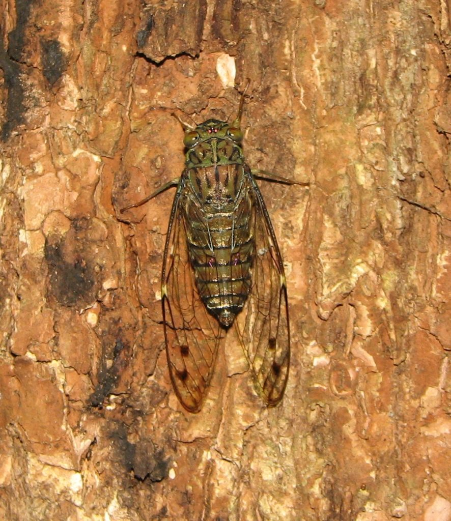 Common Cicada from Kerala. Via wikimedia