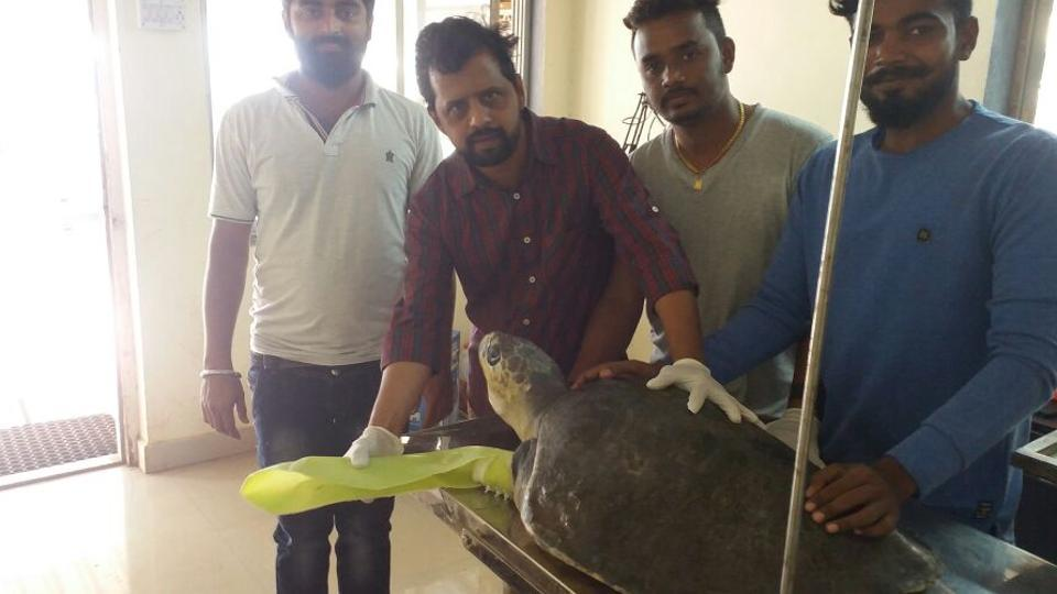 Dr. Vinherkar, second from left helps attach a dahanu flipper to an injured turtle