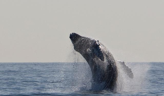 humpback-whale-1324633_640