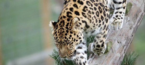 leopard-1666918_640