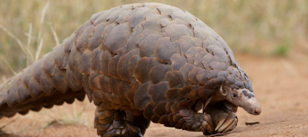 Ground Pangolin via cc/Flickr