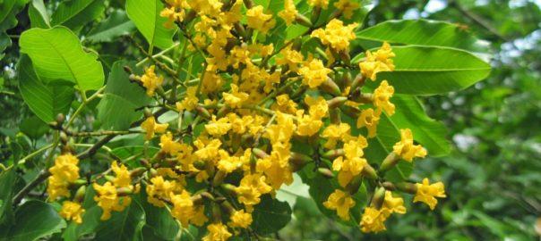 ASANA-Pterocarpus marsupium