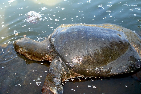 Black-Softshell-Turtle-Images