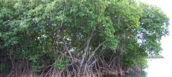 Mangroves_in_Puerto_Rico