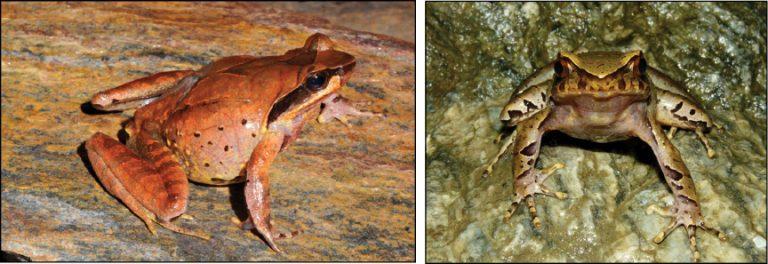 Robust horned frog