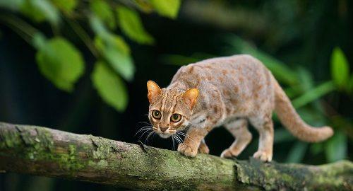 Rusty-spotted cat (Prionailurus rubininosus phillipsi)  Sri Lanka. Captive