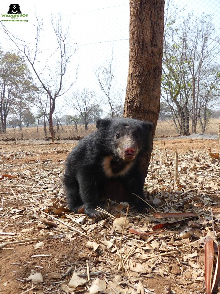 The bear cub that was rescued