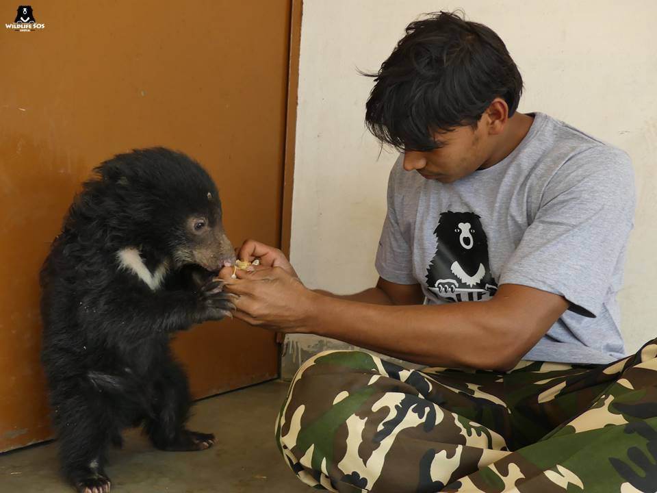 Wildlife-SOS-bear-keeper-feeding-the-cub-at-the-center