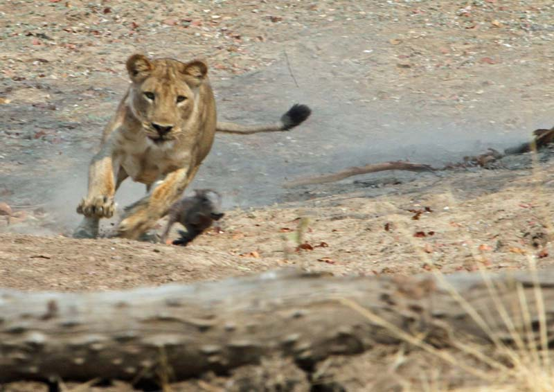 lion-chasing-piglet-t-taylor-oct-2010