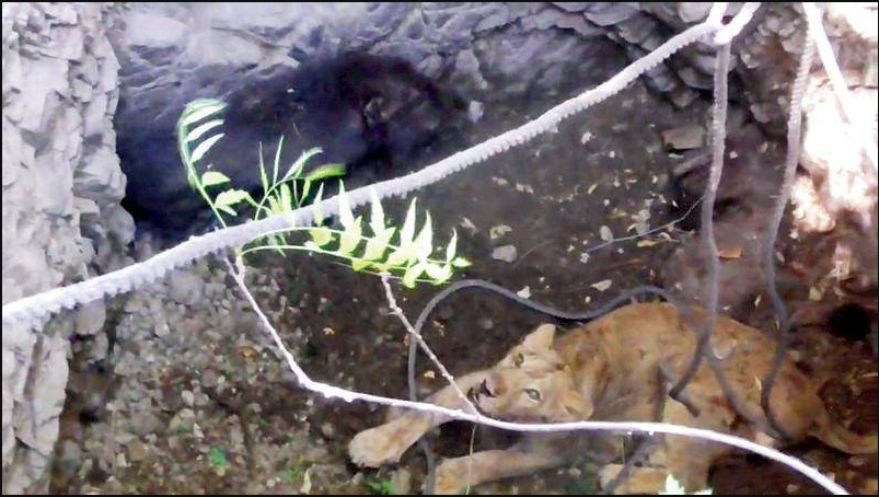 The trapped boar and lioness in the well.