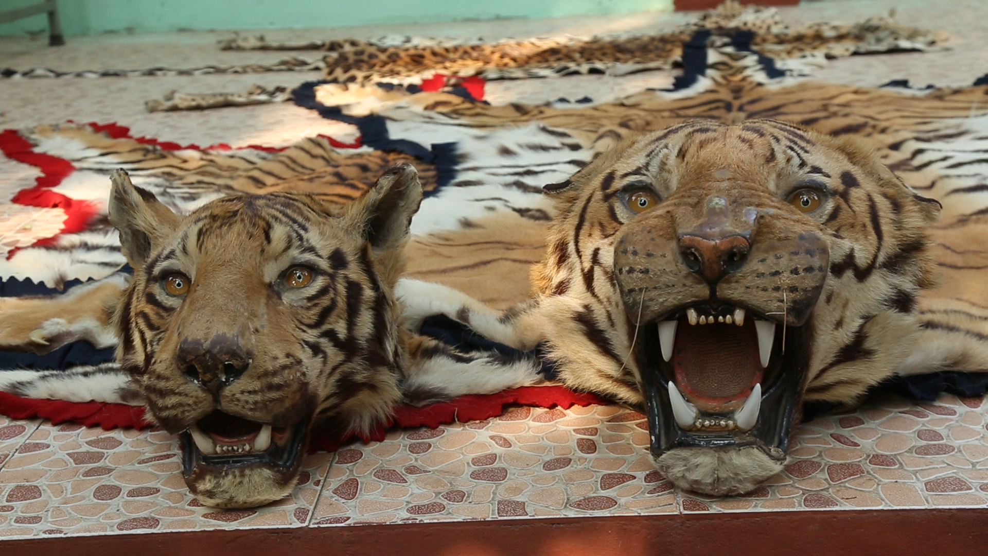 Poacher Guilty Of Killing 125 Tigers And 1025 Leopards
